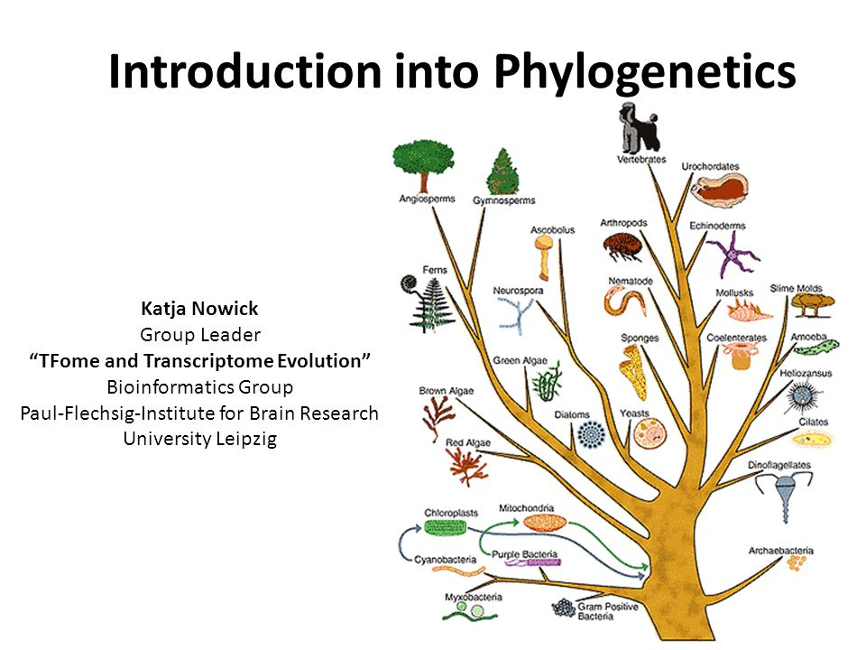 Introduction into Phylogenetics Katja Nowick Group Leader TFome and Transcriptome Evolution Bioinformatics Group Paul-Flechsig-Institute for Brain Research University Leipzig
