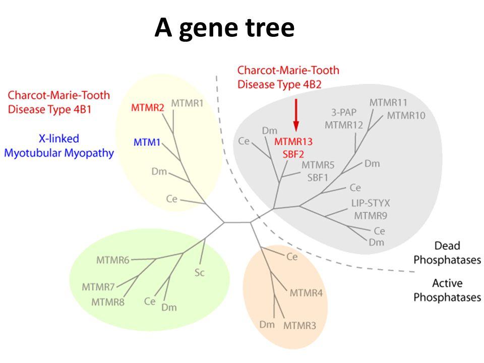 A gene tree