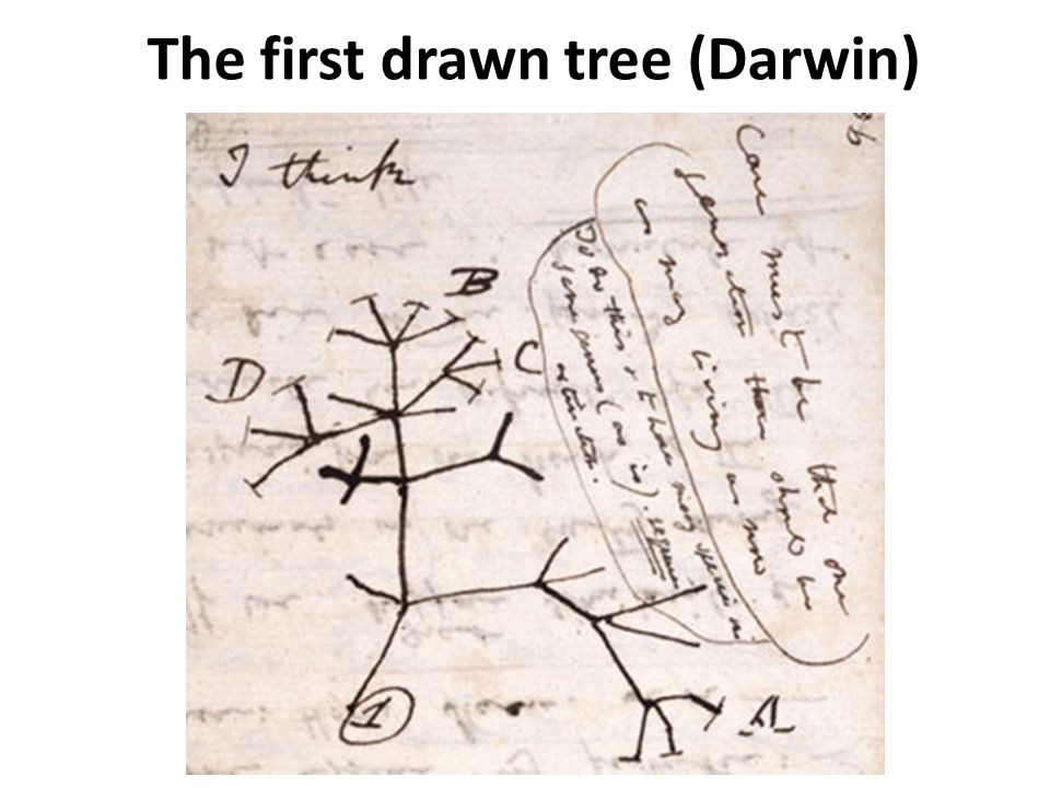 The first drawn tree (Darwin)