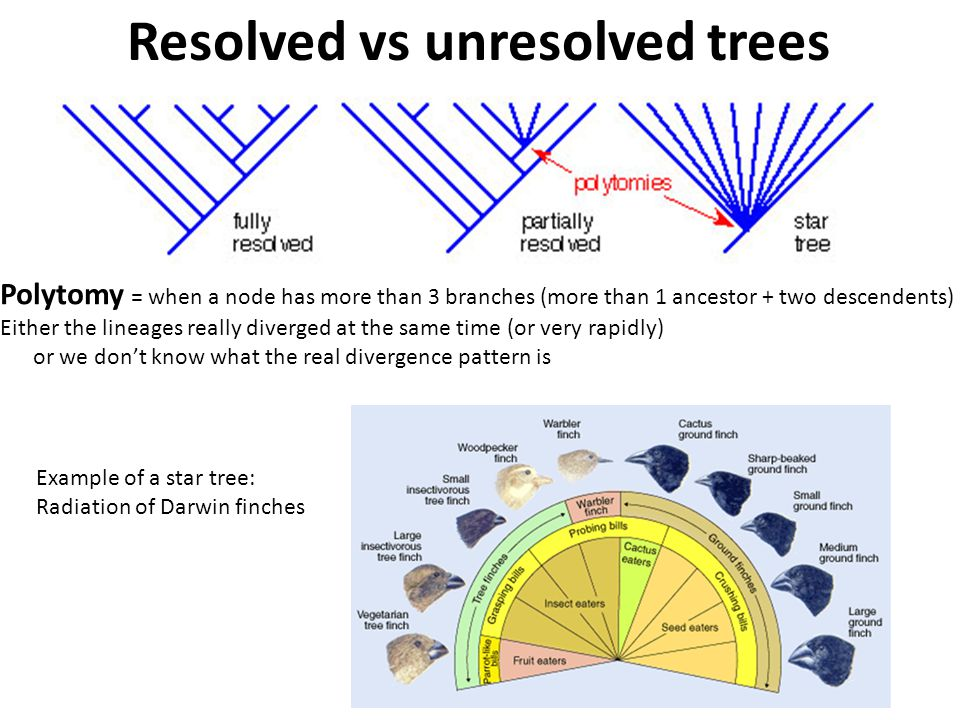 Polytomy = when a node has more than 3 branches (more than 1 ancestor + two descendents) Either the lineages really diverged at the same time (or very rapidly) or we don't know what the real divergence pattern is Resolved vs unresolved trees Example of a star tree: Radiation of Darwin finches