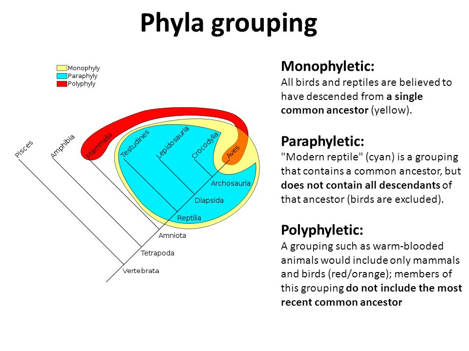 Monophyletic: All birds and reptiles are believed to have descended from a single common ancestor (yellow).