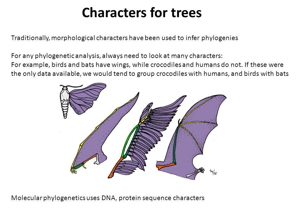 Traditionally, morphological characters have been used to infer phylogenies For any phylogenetic analysis, always need to look at many characters: For example, birds and bats have wings, while crocodiles and humans do not.