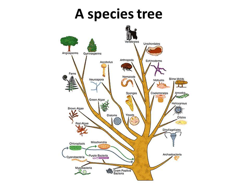 A species tree
