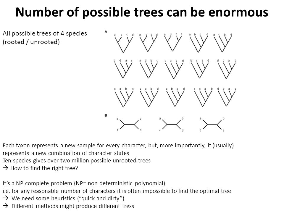 Each taxon represents a new sample for every character, but, more importantly, it (usually) represents a new combination of character states Ten species gives over two million possible unrooted trees  How to find the right tree.
