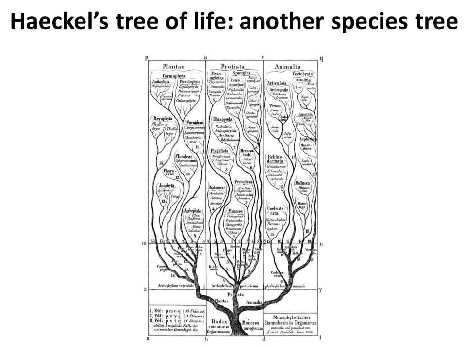 Haeckel's tree of life: another species tree