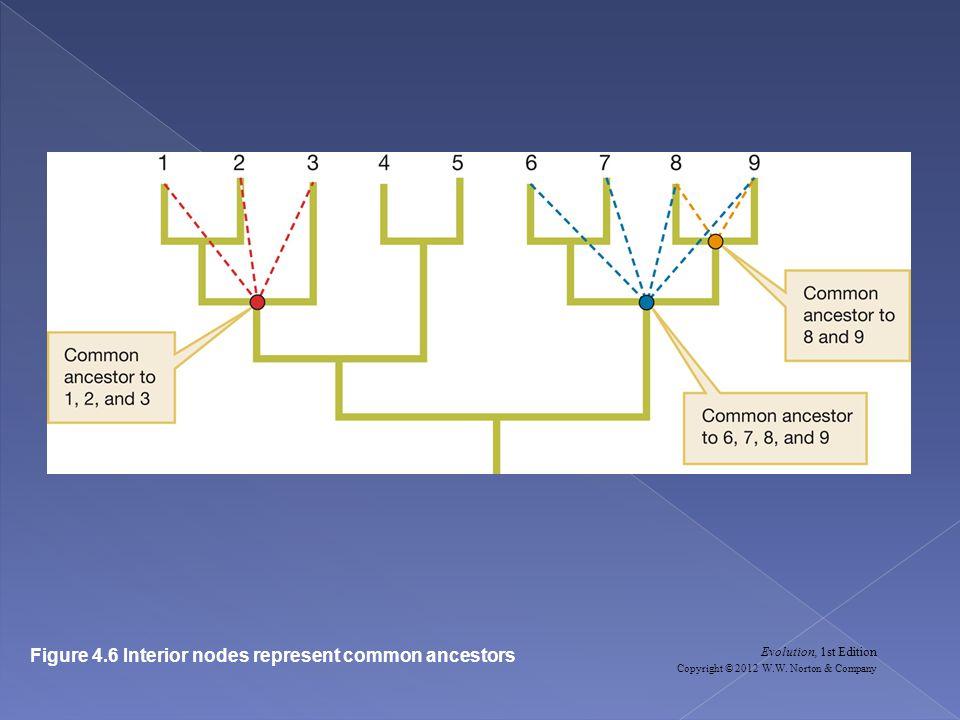 Evolution, 1st Edition Copyright © 2012 W.W. Norton & Company Figure 4.6 Interior nodes represent common ancestors