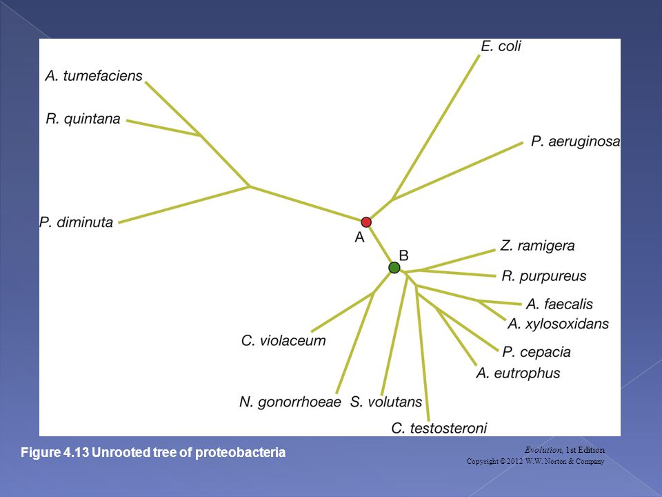 Evolution, 1st Edition Copyright © 2012 W.W. Norton & Company Figure 4.13 Unrooted tree of proteobacteria
