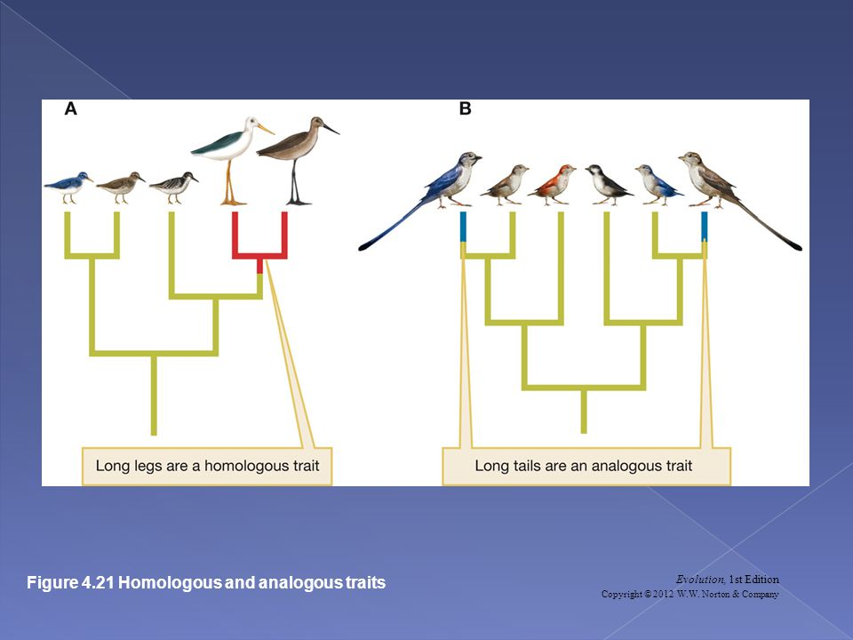 Evolution, 1st Edition Copyright © 2012 W.W. Norton & Company Figure 4.21 Homologous and analogous traits