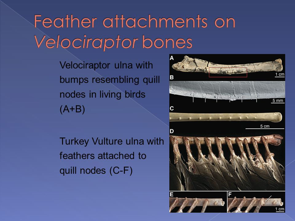 Velociraptor ulna with bumps resembling quill nodes in living birds (A+B) Turkey Vulture ulna with feathers attached to quill nodes (C-F)