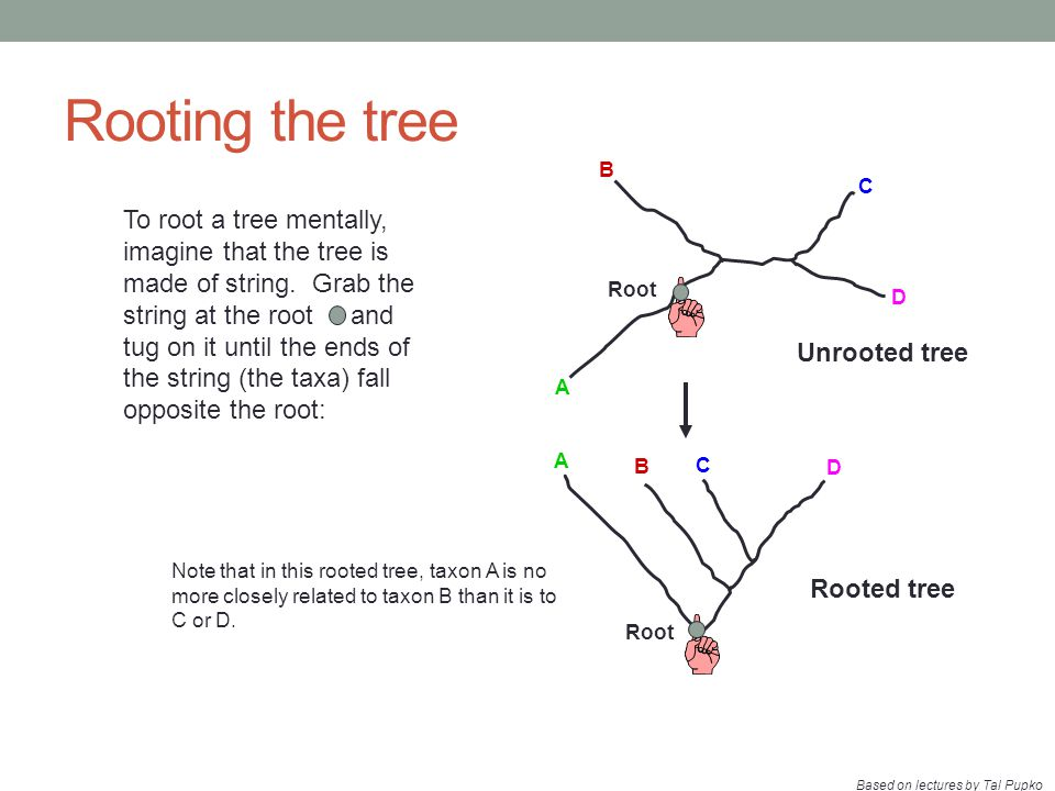 Rooting the tree A B C Root D A B C D Note that in this rooted tree, taxon A is no more closely related to taxon B than it is to C or D. Rooted tree U