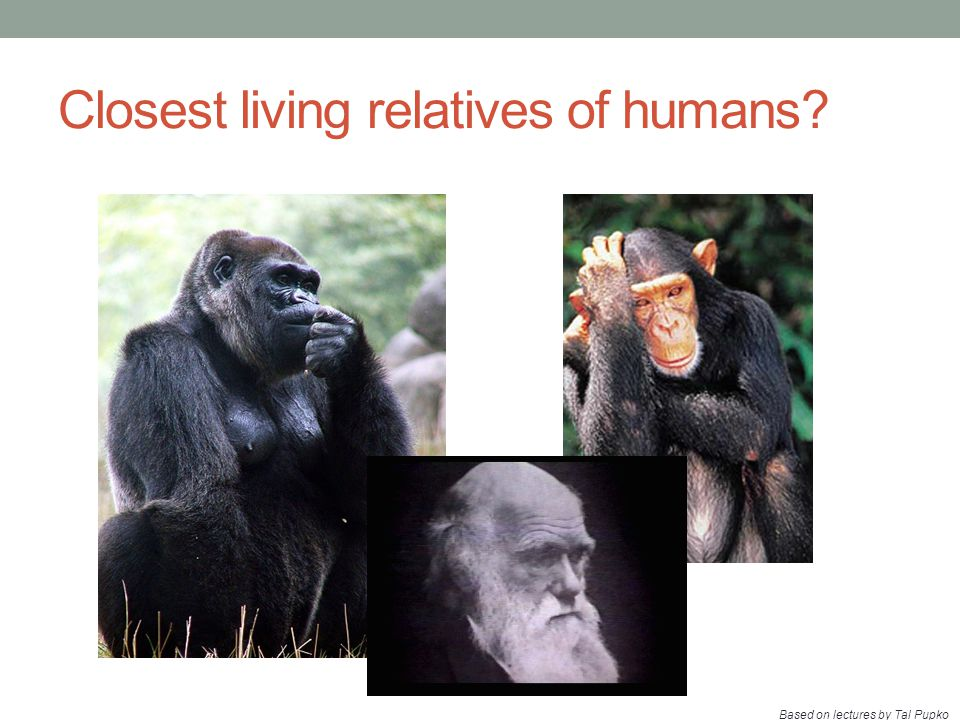 Closest living relatives of humans? Based on lectures by Tal Pupko