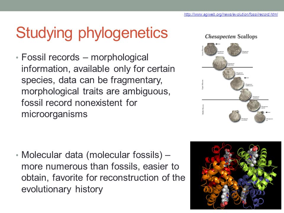 Studying phylogenetics Fossil records – morphological information, available only for certain species, data can be fragmentary, morphological traits a