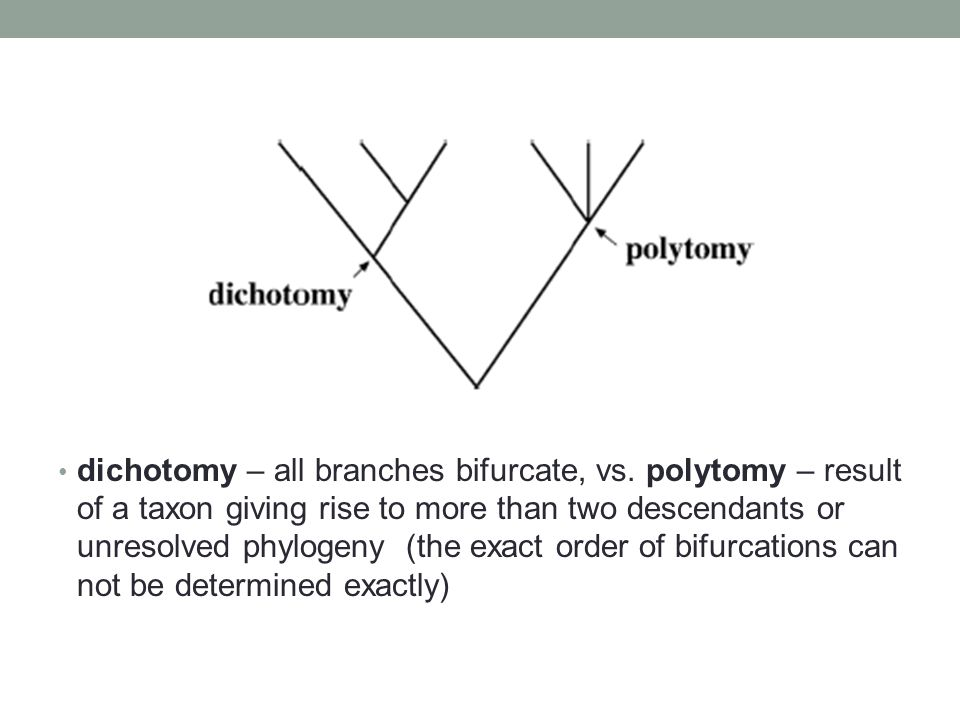 dichotomy – all branches bifurcate, vs. polytomy – result of a taxon giving rise to more than two descendants or unresolved phylogeny (the exact order