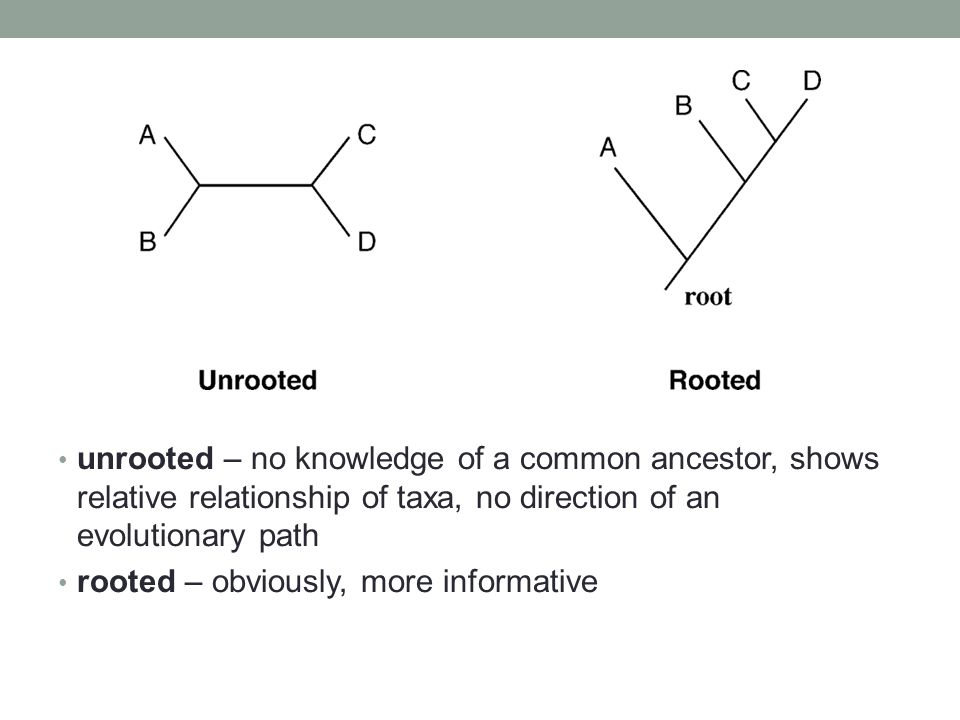 unrooted – no knowledge of a common ancestor, shows relative relationship of taxa, no direction of an evolutionary path rooted – obviously, more infor