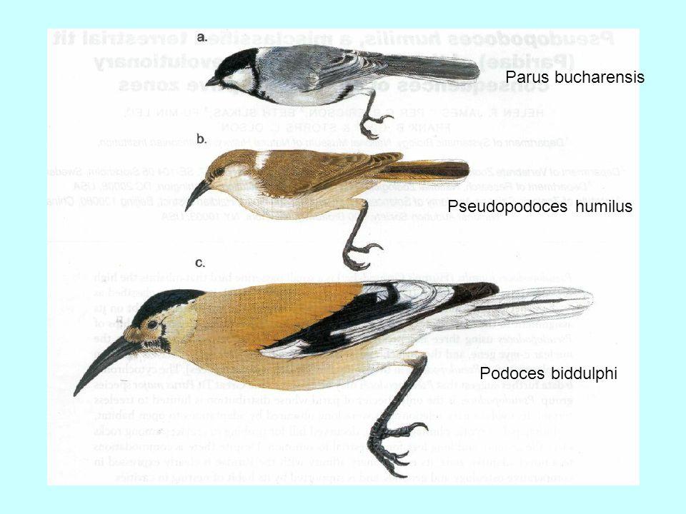 Parus bucharensis Pseudopodoces humilus Podoces biddulphi