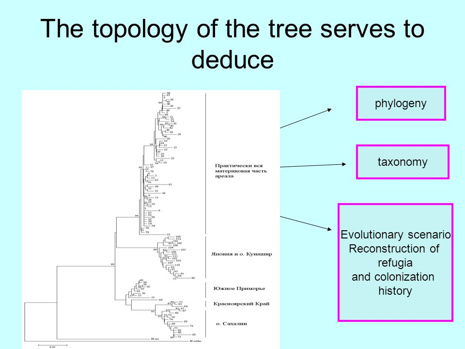 The topology of the tree serves to deduce phylogeny taxonomy Evolutionary scenario Reconstruction of refugia and colonization history