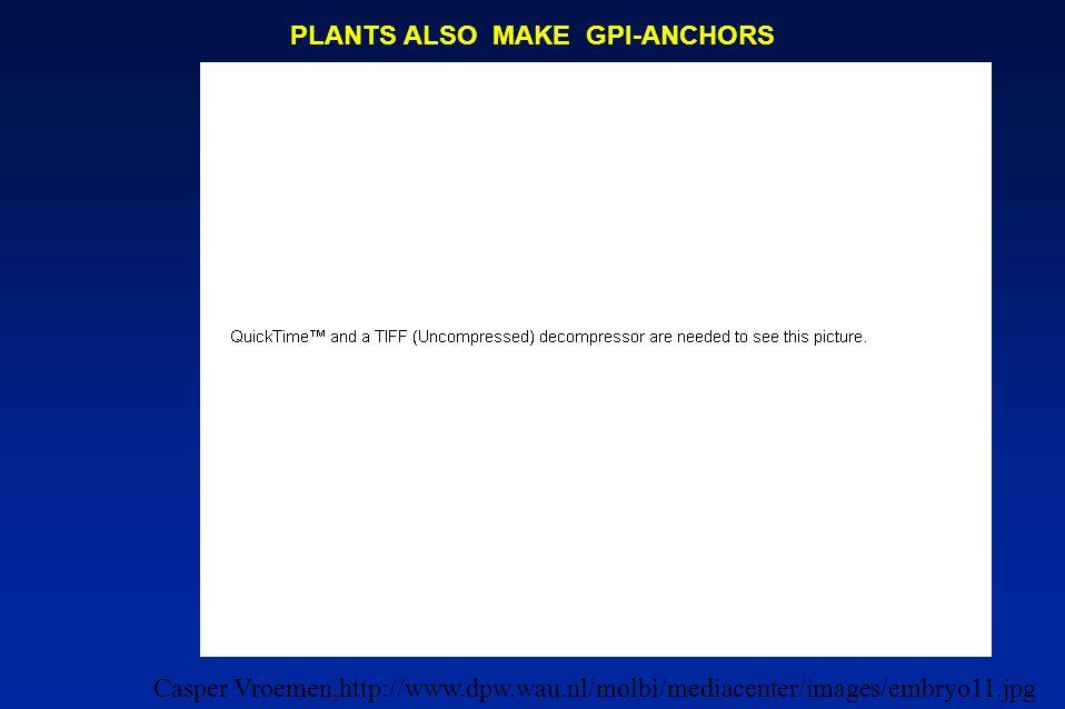 PLANTS ALSO MAKE GPI-ANCHORS Casper Vroemen,http://www.dpw.wau.nl/molbi/mediacenter/images/embryo11.jpg