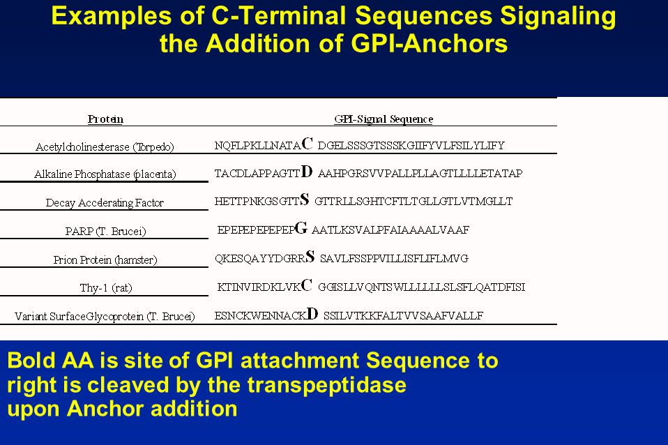 Examples of C-Terminal Sequences Signaling the Addition of GPI-Anchors Bold AA is site of GPI attachment Sequence to right is cleaved by the transpept