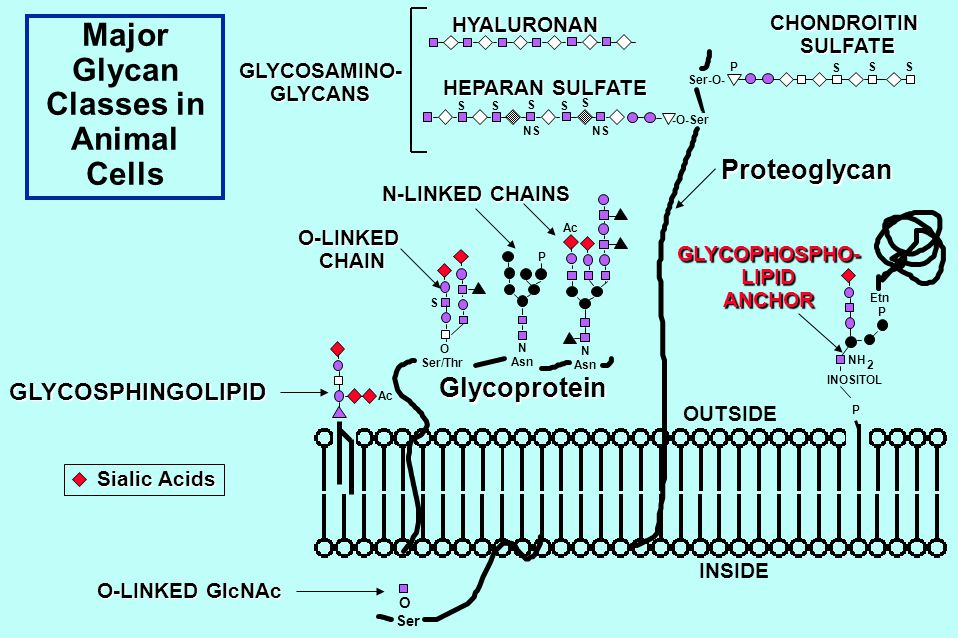 Major Glycan Classes in Animal Cells O Ser O Ser/Thr N Asn Ser-O- OUTSIDE INSIDE N Asn S SS -O-Ser S S S SS Etn P INOSITOL P NH Ac P NS Ac S 2 P Glycoprotein ProteoglycanGLYCOPHOSPHO-LIPIDANCHOR N-LINKED CHAINS O-LINKEDCHAIN HYALURONAN GLYCOSAMINO-GLYCANS HEPARAN SULFATE CHONDROITIN SULFATE SULFATE Sialic Acids GLYCOSPHINGOLIPID O-LINKED GlcNAc