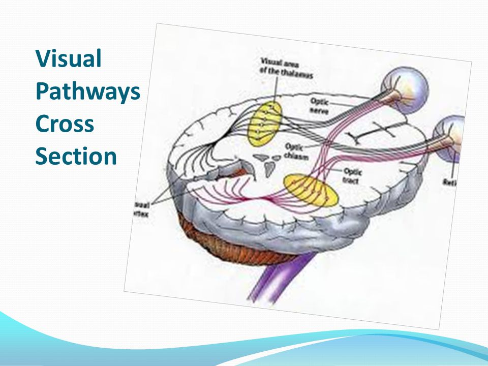 Visual Pathways Cross Section