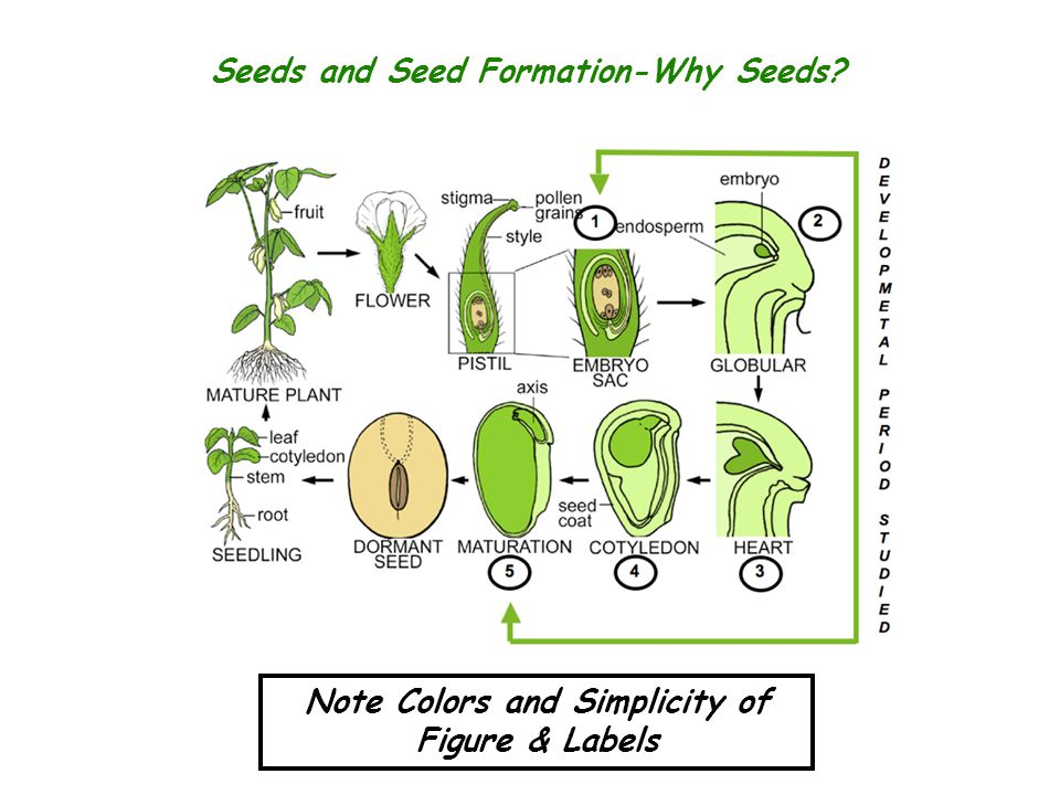 Seeds and Seed Formation-Why Seeds? Note Colors and Simplicity of Figure & Labels