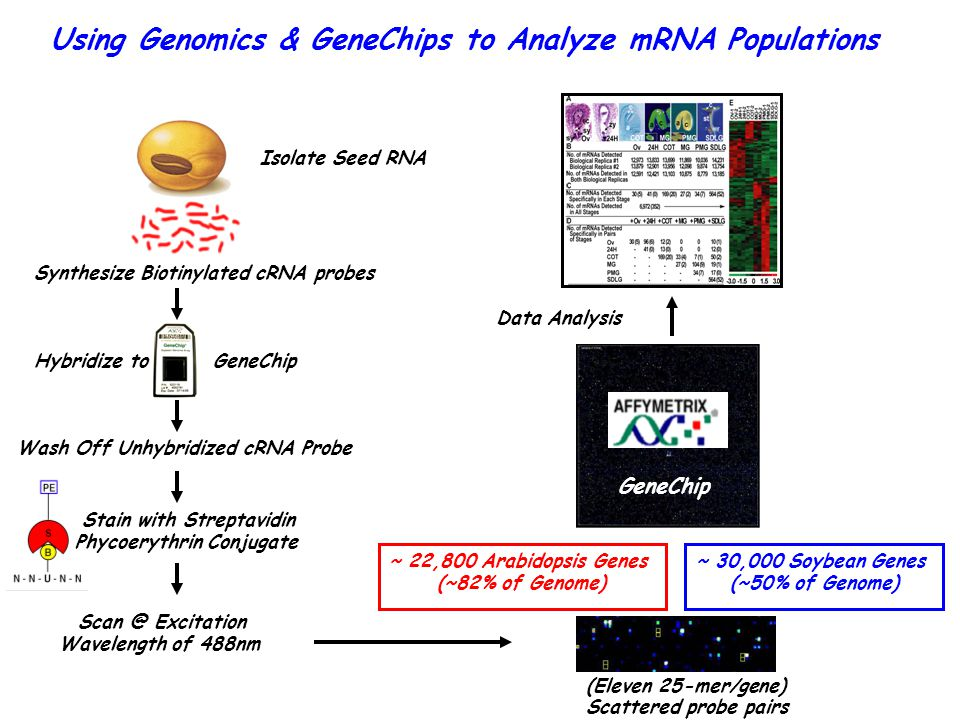 Using Genomics & GeneChips to Analyze mRNA Populations Data Analysis Isolate Seed RNA Synthesize Biotinylated cRNA probes Hybridize to GeneChip Wash Off Unhybridized cRNA Probe Stain with Streptavidin Phycoerythrin Conjugate Scan @ Excitation Wavelength of 488nm (Eleven 25-mer/gene) Scattered probe pairs ~ 22,800 Arabidopsis Genes (~82% of Genome) GeneChip ~ 30,000 Soybean Genes (~50% of Genome)