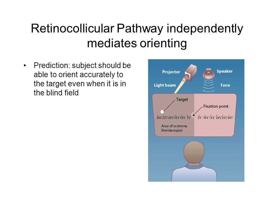 Retinocollicular Pathway independently mediates orienting Prediction: subject should be able to orient accurately to the target even when it is in the blind field