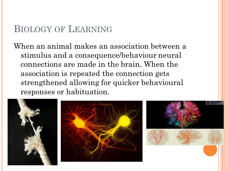 B IOLOGY OF L EARNING When an animal makes an association between a stimulus and a consequence/behaviour neural connections are made in the brain. Whe