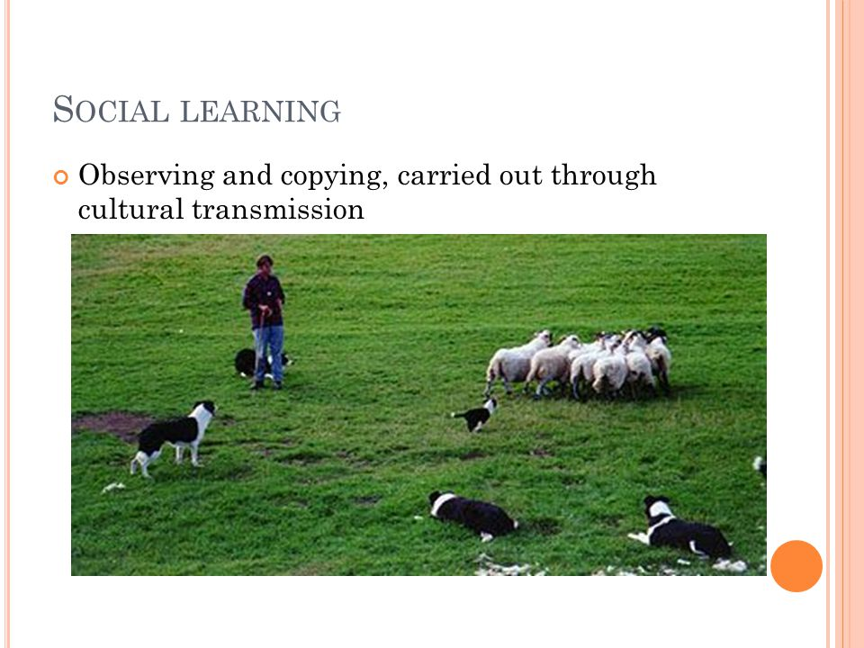 S OCIAL LEARNING Observing and copying, carried out through cultural transmission