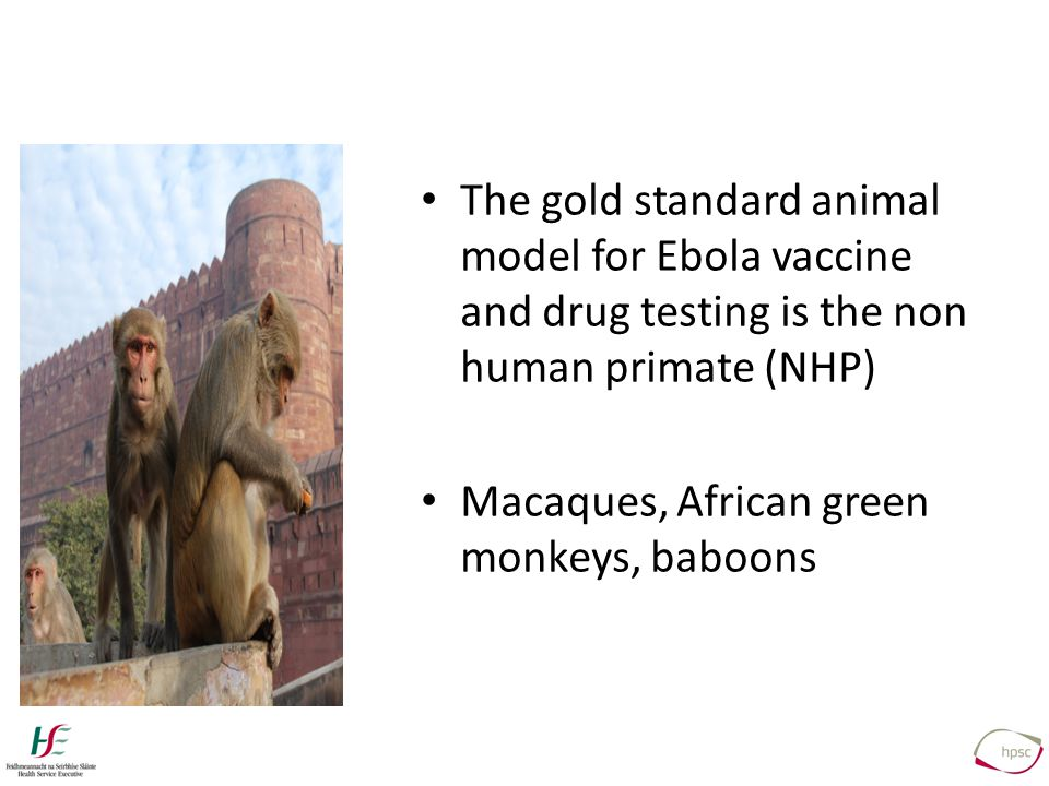 The gold standard animal model for Ebola vaccine and drug testing is the non human primate (NHP) Macaques, African green monkeys, baboons