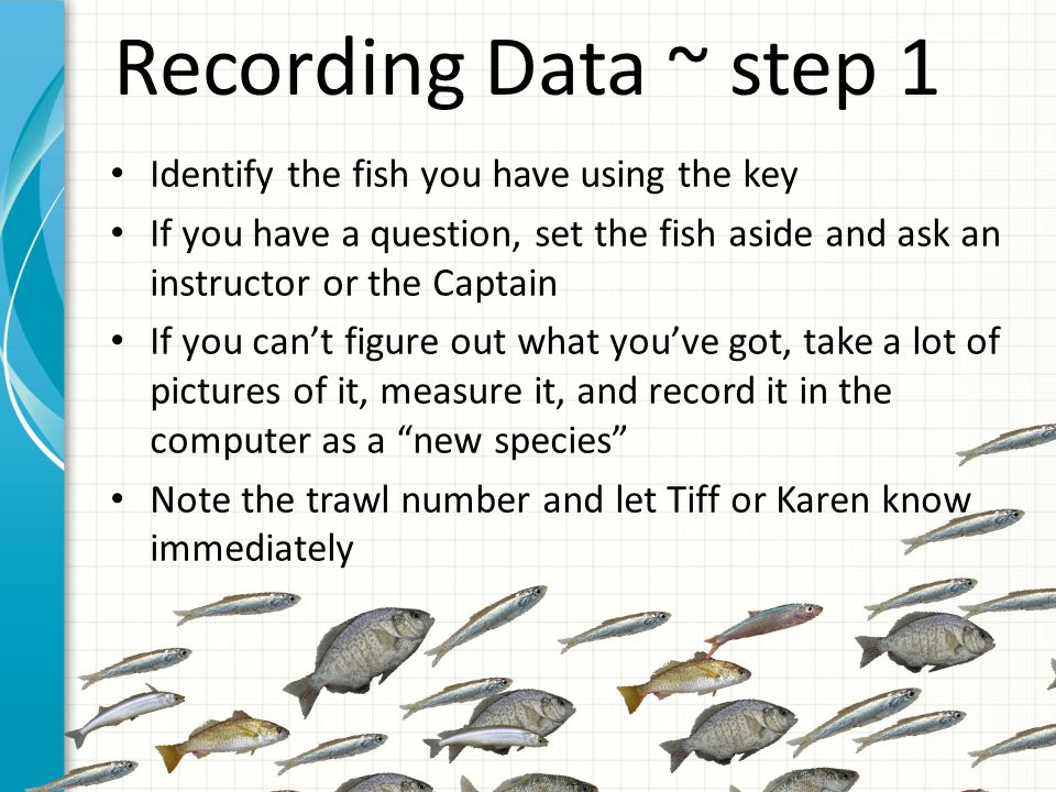 Recording Data ~ step 1 Identify the fish you have using the key If you have a question, set the fish aside and ask an instructor or the Captain If you can't figure out what you've got, take a lot of pictures of it, measure it, and record it in the computer as a new species Note the trawl number and let Tiff or Karen know immediately