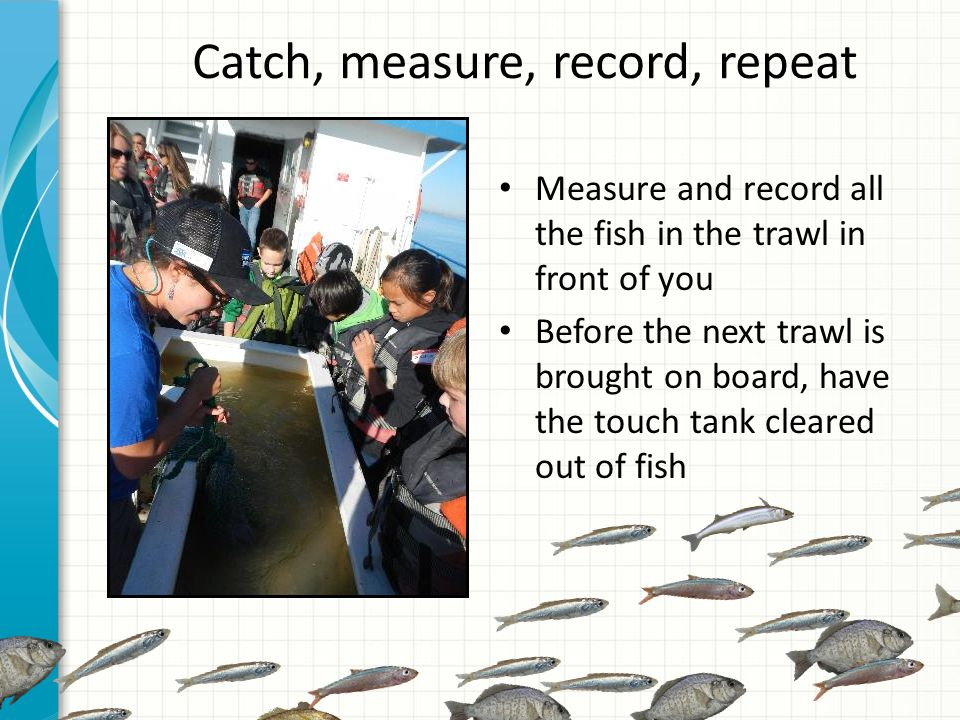 Catch, measure, record, repeat Measure and record all the fish in the trawl in front of you Before the next trawl is brought on board, have the touch tank cleared out of fish