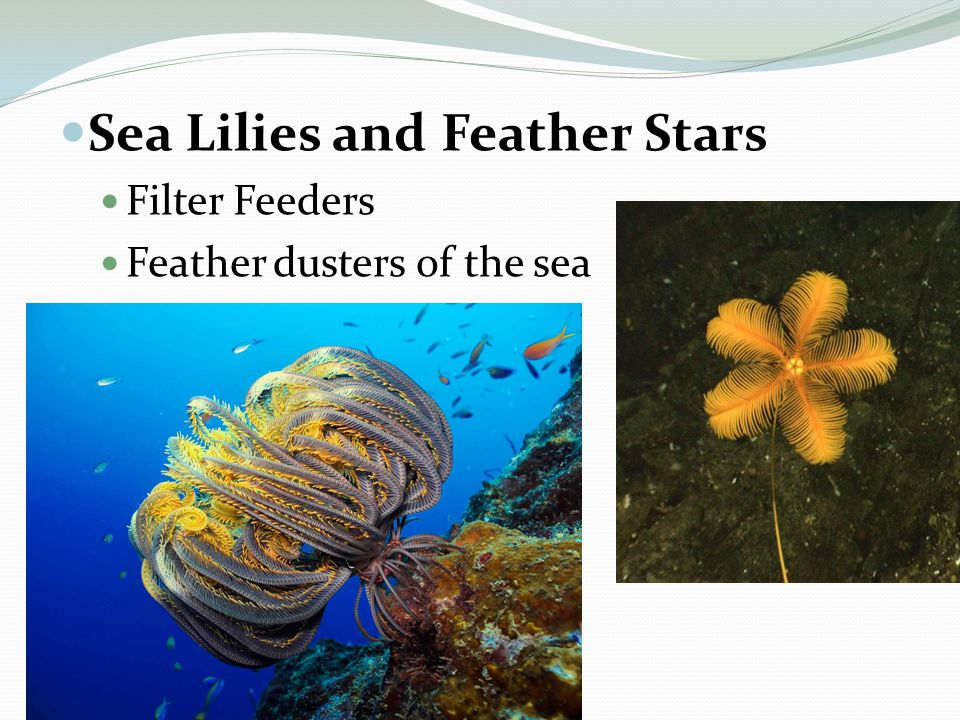 Sea Lilies and Feather Stars Filter Feeders Feather dusters of the sea