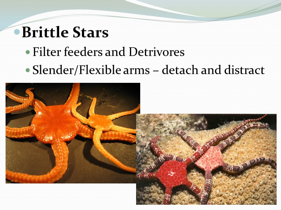 Brittle Stars Filter feeders and Detrivores Slender/Flexible arms – detach and distract