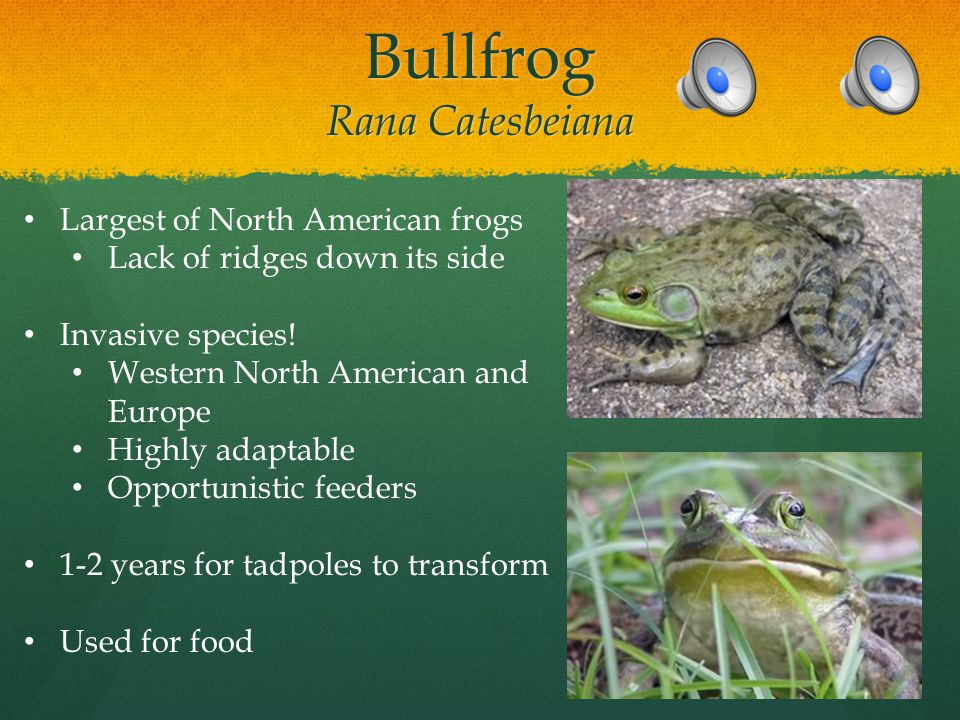 Green/Bronze Frog Rana clamitans Distinct ridge down side Distinct ridge down side Subspecies Subspecies Deposit eggs as a surface mass Deposit eggs as a surface mass Advantages/disadvantages.