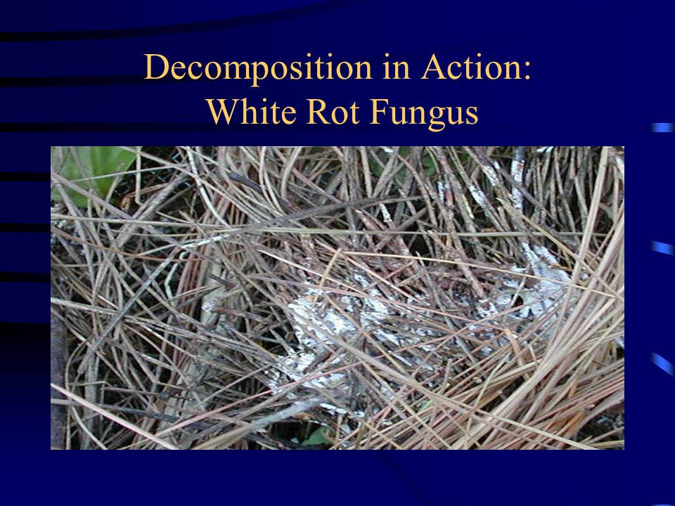 Decomposition in Action: White Rot Fungus