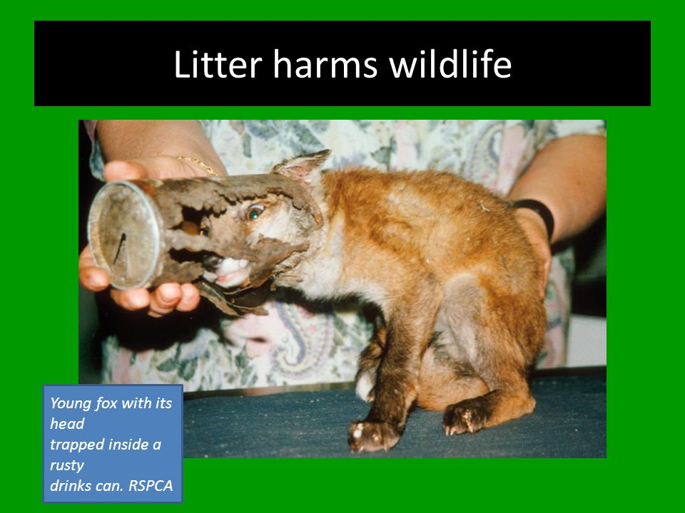Litter harms wildlife Young fox with its head trapped inside a rusty drinks can. RSPCA