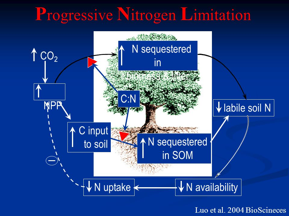 NPP N sequestered in biomass & litter C input to soil N sequestered in SOM labile soil N N uptake N availability C:N CO 2 P rogressive N itrogen L imi