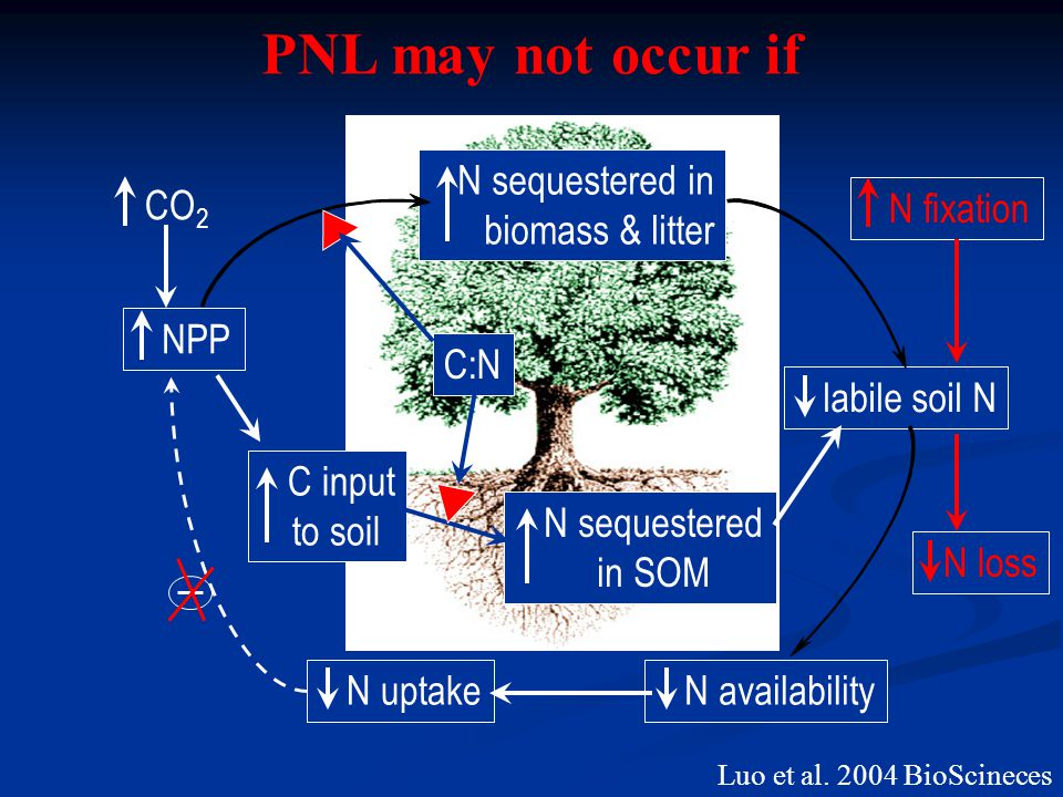 NPP N sequestered in biomass & litter C input to soil N sequestered in SOM labile soil N N uptake N availability C:N CO 2 Luo et al.