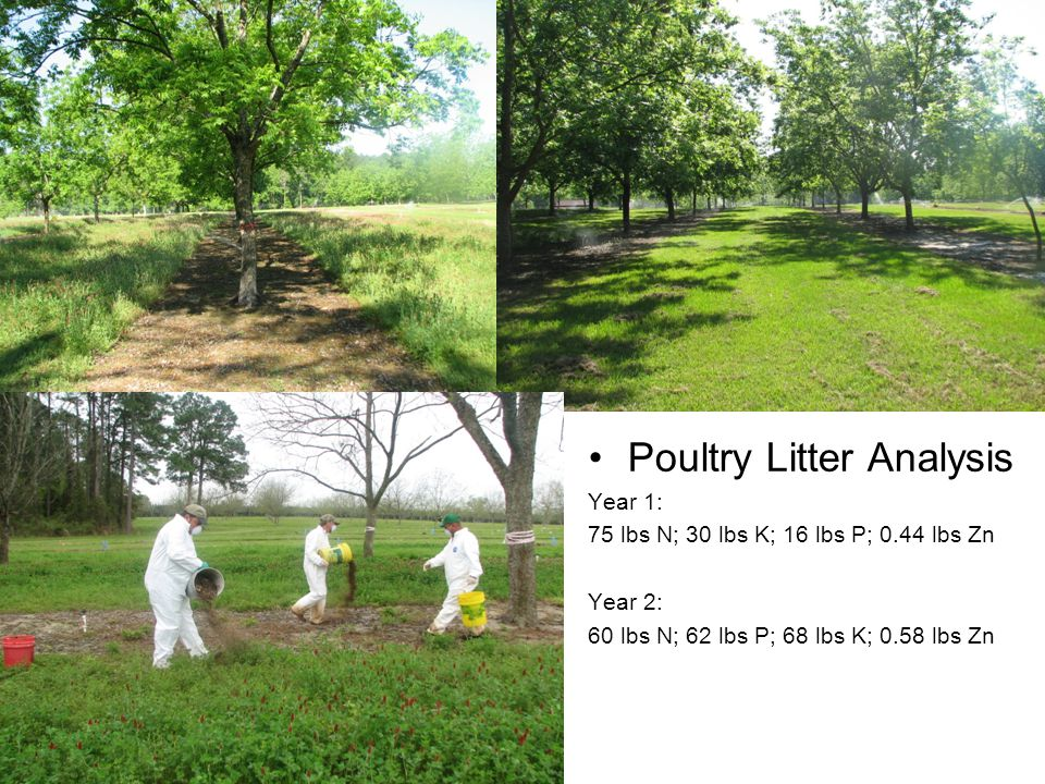 Effect of Poultry Litter and Clover on Leaf Elemental Analysis of 'Desirable' Pecan Year 1 (2008) TreatmentNPKMgCaSBZnMnFeCu Poultry Litter 2.52a0.15a1.38a0.54a1.56a0.23a39a98a193a83a8.5a Crimson Clover 2.41a0.15a1.20b0.46b1.49a0.22a32b98a325a106a8.8a Litter + Clover 2.44a0.15a1.46a0.46b1.45a0.23a36ab91a143a117a8.8a Ammonium Nitrate (75 lbs N/acre) 2.57a0.16a1.45a0.43b1.39a0.23a35b75a161a198a8.2a