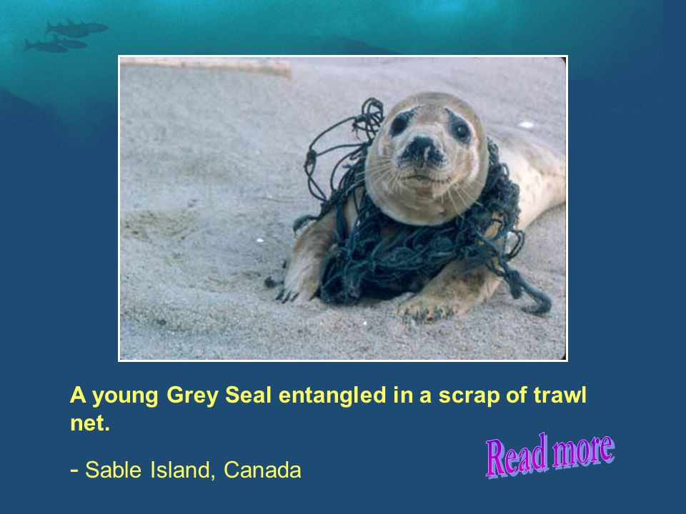 A young Grey Seal entangled in a scrap of trawl net. - Sable Island, Canada