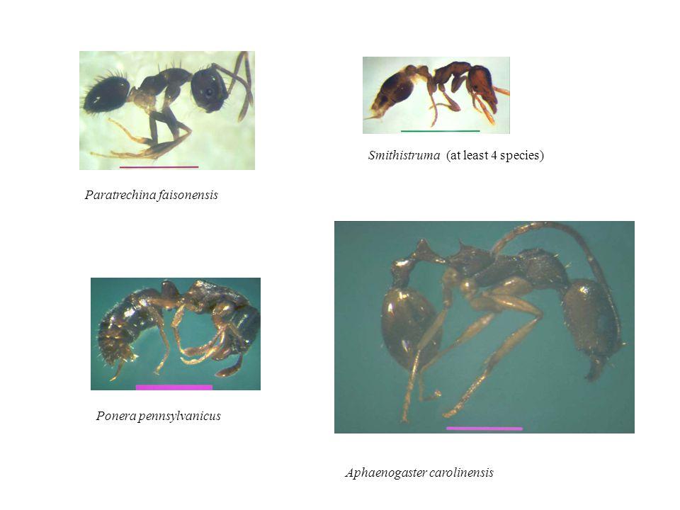 Paratrechina faisonensis Smithistruma (at least 4 species) Ponera pennsylvanicus Aphaenogaster carolinensis
