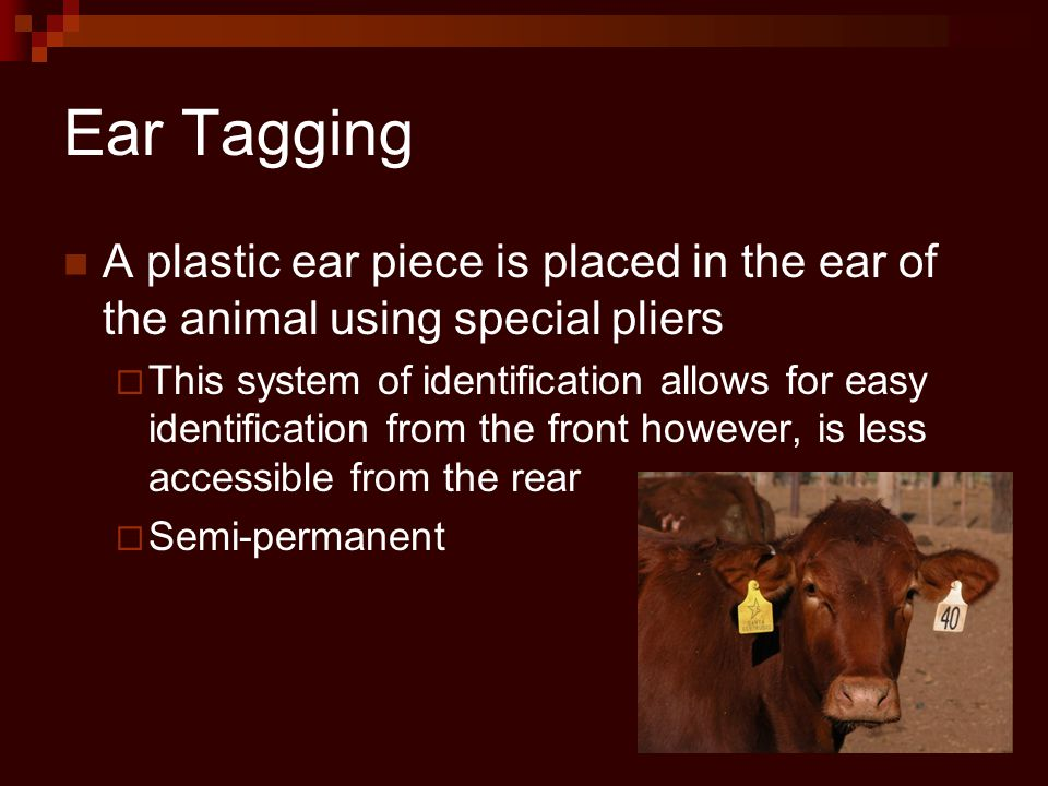 Ear Tagging A plastic ear piece is placed in the ear of the animal using special pliers  This system of identification allows for easy identification from the front however, is less accessible from the rear  Semi-permanent