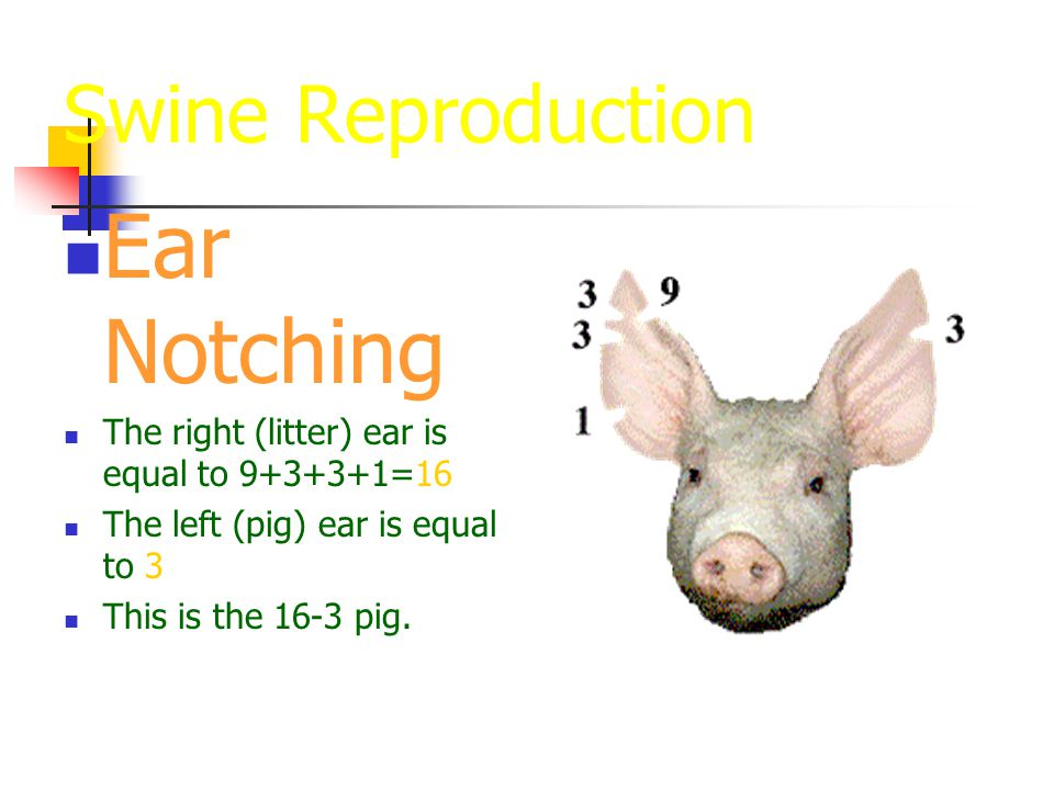 Swine Reproduction Ear Notching The right (litter) ear is equal to 9+3+3+1=16 The left (pig) ear is equal to 3 This is the 16-3 pig.