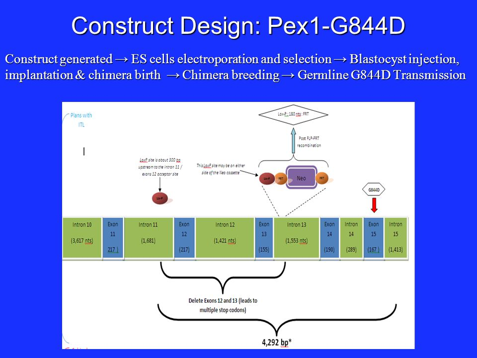 Construct Design: Pex1-G844D Construct generated → ES cells electroporation and selection → Blastocyst injection, implantation & chimera birth → Chime