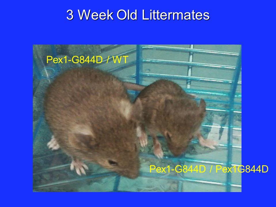 3 Week Old Littermates Pex1-G844D / WT Pex1-G844D / Pex1G844D