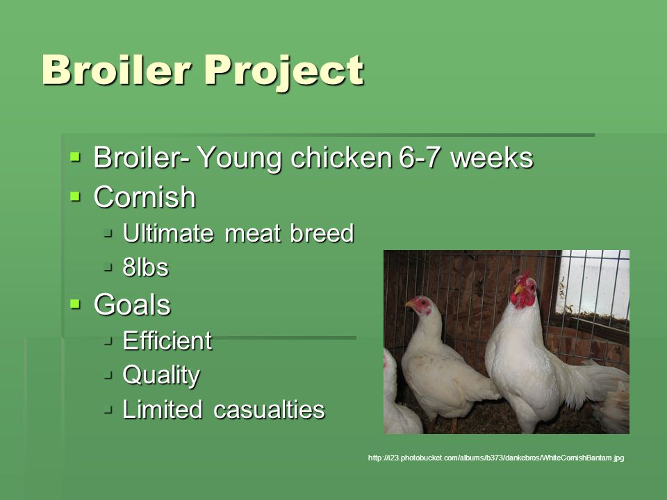 Broiler Project  Broiler- Young chicken 6-7 weeks  Cornish  Ultimate meat breed  8lbs  Goals  Efficient  Quality  Limited casualties http://i23.photobucket.com/albums/b373/dankebros/WhiteCornishBantam.jpg
