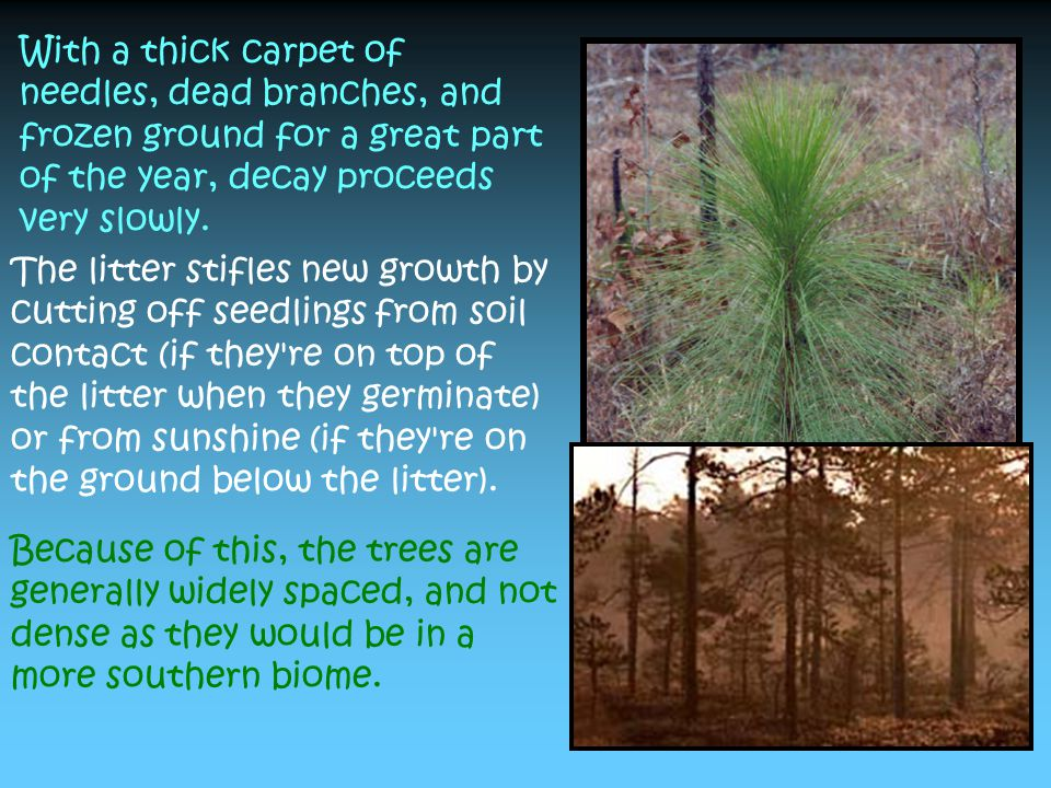 When deciduous trees grow, they change the soils, making them a little more basic instead of acidic, which makes it easier for baby conifers to re-establish themselves.