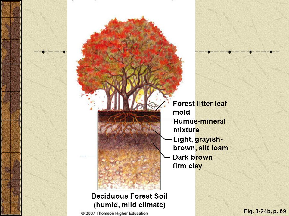 Fig. 3-24b, p. 69 Deciduous Forest Soil (humid, mild climate) Forest litter leaf mold Humus-mineral mixture Light, grayish- brown, silt loam Dark brow