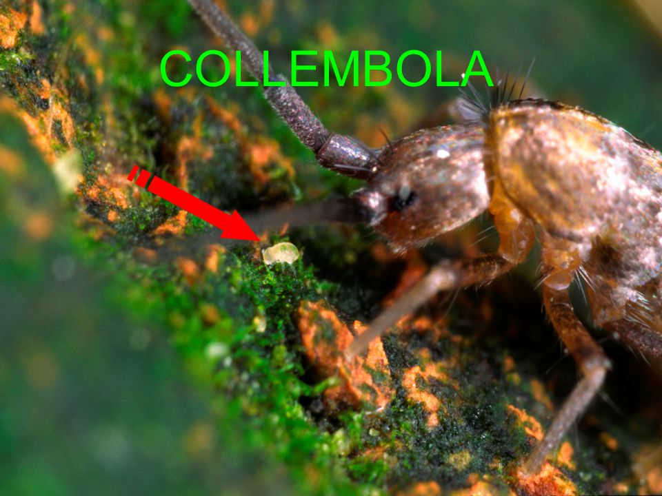 COLLEMBOLA